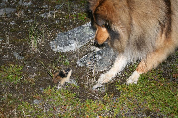 Elvis and Norway lemming