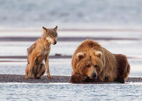A Grey Wolf (Canis lupus) and a Coastal Brown Bear (Ursus arctos) watch for salmon during the first day of the Salmon run at Hallo Bay, Katmai National Park, Alaska. byChristopher Dodds