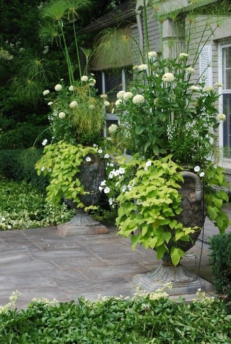 white zinnias and lime potato vine in very large containers