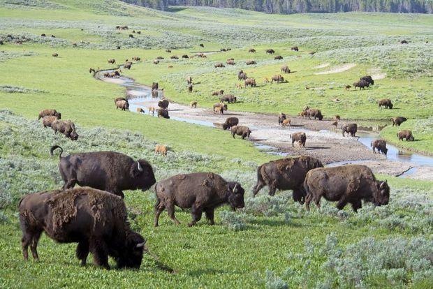 Vijftien leuke weetjes over de bizon, het nationale zoogdier van de VS