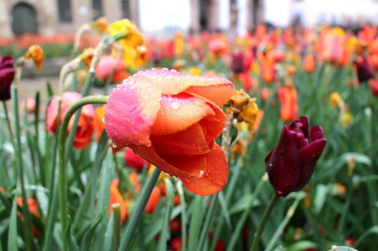 Tulipani bagnati dalla pioggia in centro a Monaco
