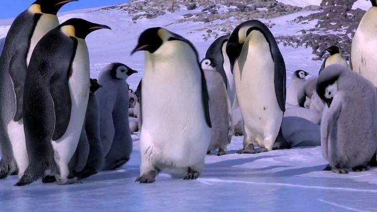 Penguin Bloopers - cute brain break - discuss perseverance!