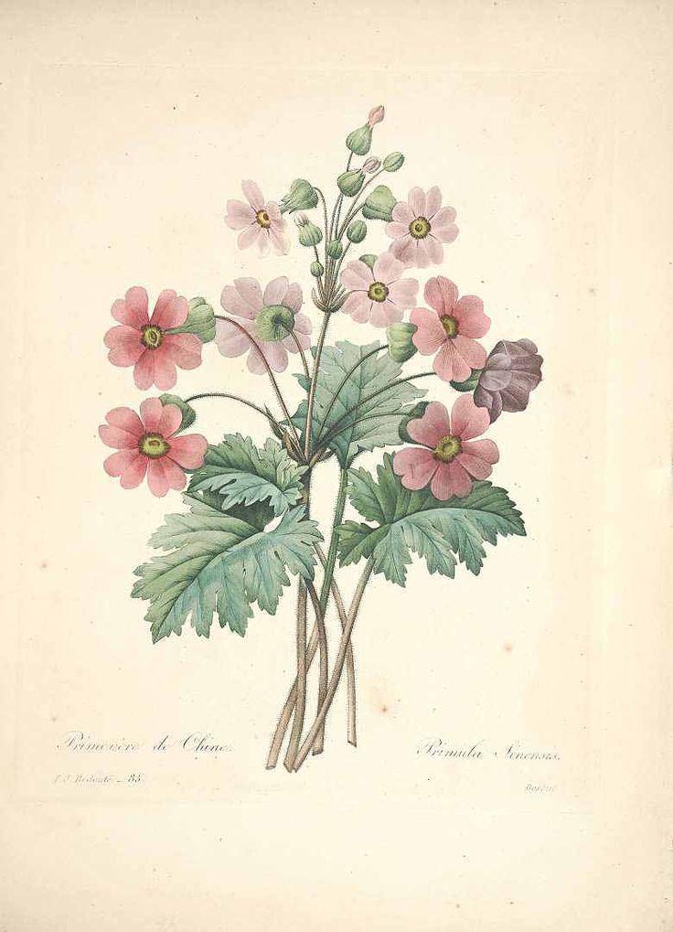 Redouté. Primula sinensis Sabine ex Lindl. http://plantillustrations.org/illustration.php?id_illustration=46878