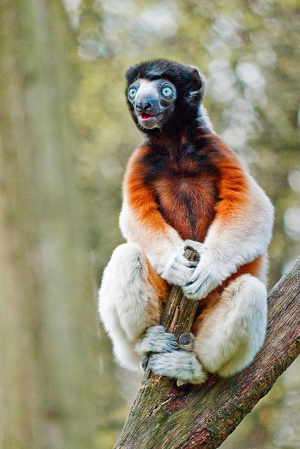 Coquerel's Sifaka This little guy is a lemur and lives in the forest of…