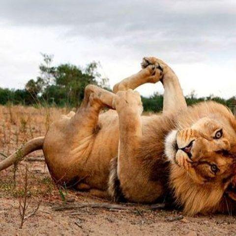 Lion Beautiful Animal Photography Wildlife