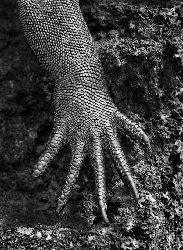 """""""Genesis"""" de Sebastiao Salgado, 2013 à la Maison Européenne de la Photographie. Photo : Iguane marin (Amblyrhynchus cristatus). Galápagos, Équateur, 2004."""