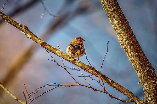 juvenile european goldfinch (swedeish steglits)