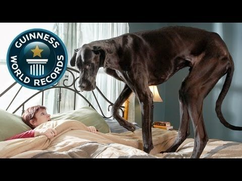 "World's tallest dog is a lovable monster - Meet Zeus, the Guinness World Record holder for ""World's Tallest Dog."" Which he won by starring down the judges straight in the eye, while balancing a cat on his nose.    This Great Dane is 44 inches tall and weighs 155 pounds."