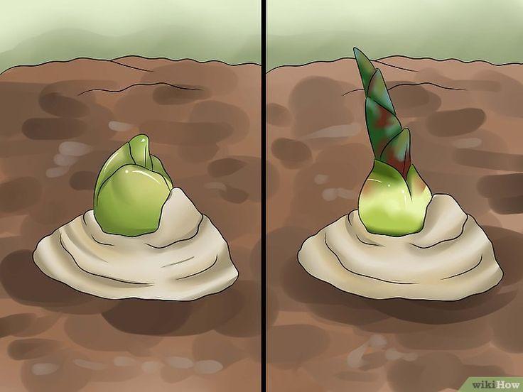 Een gemberplant kweken - wikiHow
