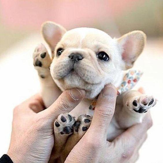 Whitefrenchie Whitefrenchbulldog Frenchbulldog Frenchie Cute