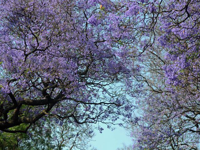 Jacarandas in bloom. Brooklyn, Pretoria, (c) Florescence