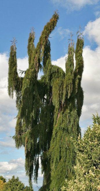 Sequoiadendron giganteum ' Pendulum ' Weeping Giant Redwood