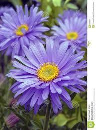 Image result for aster flower tattoos