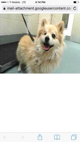 Check out Cooby's profile on AllPaws.com and help him get adopted! Cooby is an adorable Dog that needs a new home. https://www.allpaws.com/adopt-a-dog/pomeranian/6736929?social_ref=pinterest