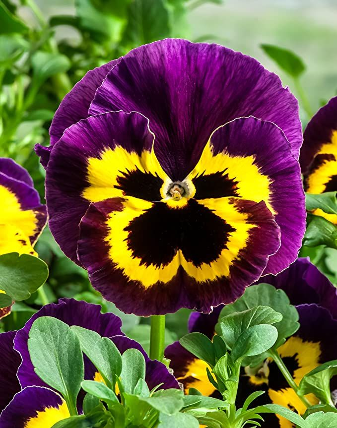 Pansy Flower Seeds Yellow With Purple Seeds Pack By Seedscare India Amazon In Home Kitchen In 2020 Pansies Flowers Flower Seeds Pansies