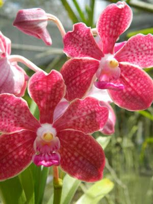 Red vanda at Orchid World Barbados by garden muses-not another Toronto gardening blog