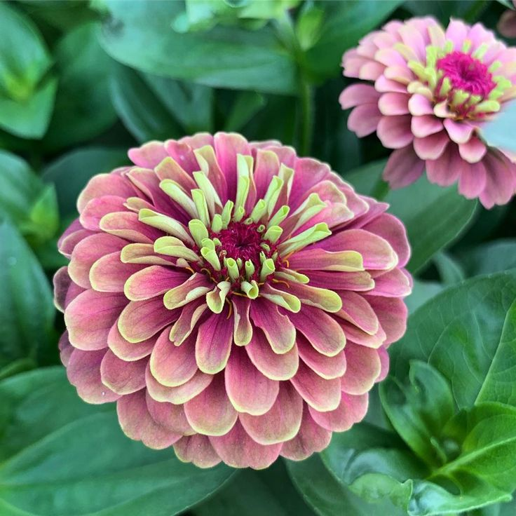 Garden Answer On Instagram Queen Lime Red Zinnia Isn T This