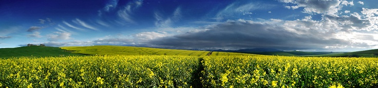 Canola fields - Overberg - close to Hermanus