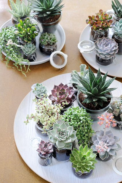 Succulents in jars on trays #plants #succulents
