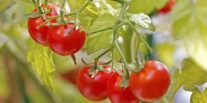 Como plantar tomates em vasos