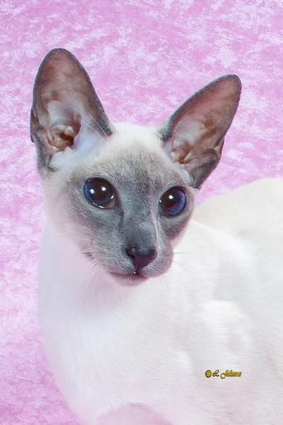 Siamese Cats For Sale - Cats