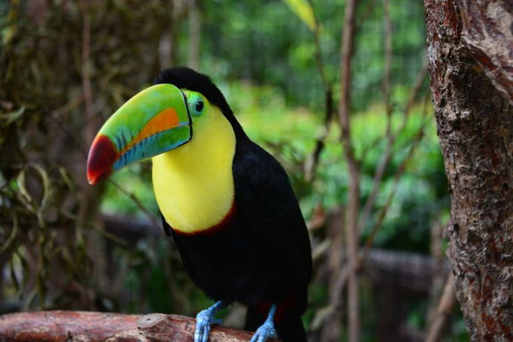 Toucan - San Jose   things to do in costa rica, costa rica travel