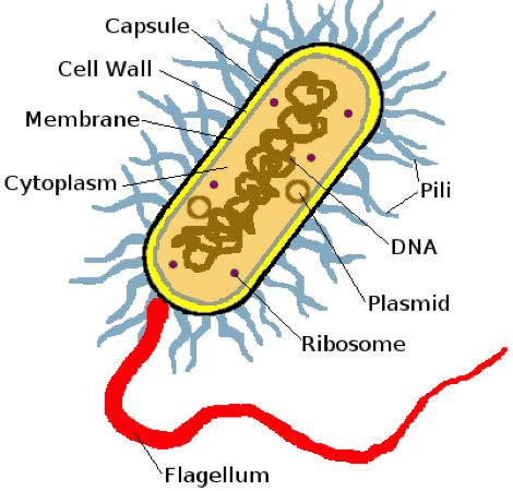 16 best biology characteristics of life images on pinterest ap bacteria cell diagram ccuart Image collections