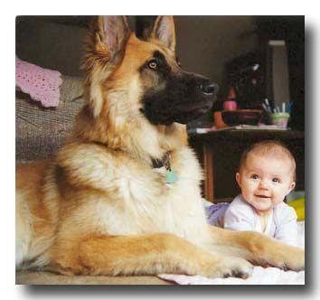 big german shepherd    Like, repin, share! :)