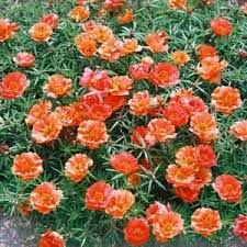LW Groundcover Moss Rose Portulaca Grandiflora - Google Search