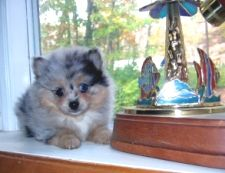 pomeranian: Pomeranians My House, Pomeranians Puppys, Small Dogs, So Cute, Fluffy Dogs, Baby Animal, Pomeranians Repin, Blue Merle Pomeranians, Things