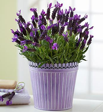 131 best images about all lavender in pots containers on pinterest vintage vintage wooden. Black Bedroom Furniture Sets. Home Design Ideas