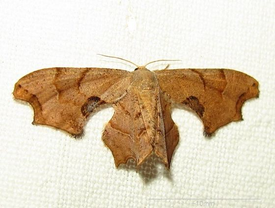 Hodges #7653 - Brown Scoopwing Moth - Calledapteryx dryopterata