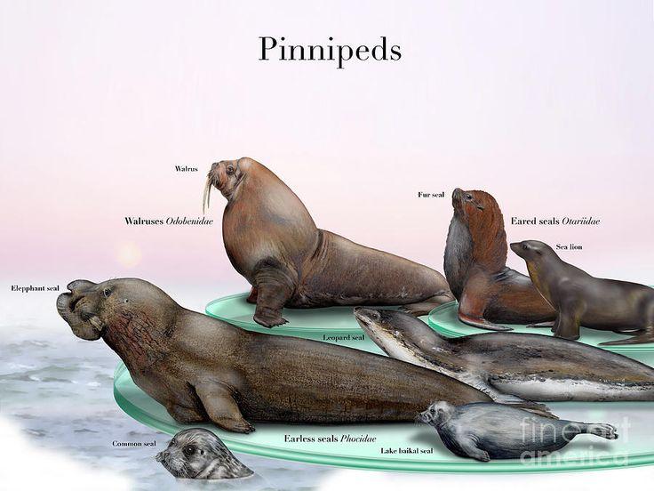 Pin lisääjältä Donna Steller taulussa pinnipeds & friends | Pinterest