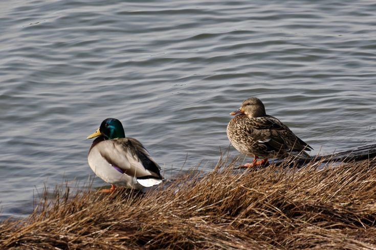 Mallard Ducks by the Fraser River. Click image to enlarge.