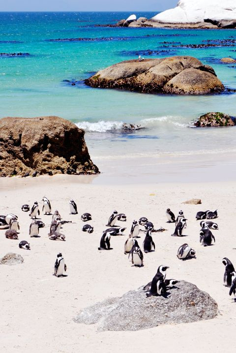 Swim with penguins. Explore the beach and find penguins hidden behind rocks. Capetown, South Africa