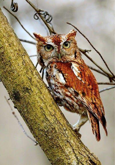 Petit-Duc Maculé // Eastern Screech Owl (Megascops Asio)