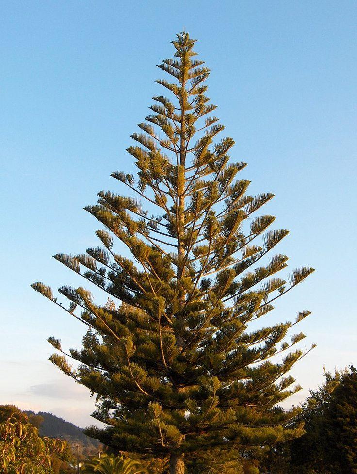 Araucaria heterophylla photos - Norfolk Island Pine