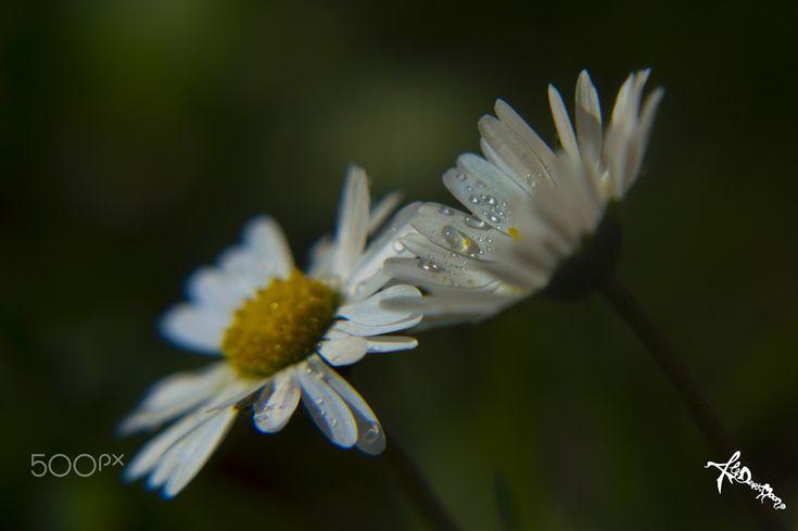 daisy dance - Petals and drops, dancing in my garden