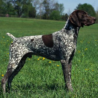 German Shorthaired Pointer - Medium Dog Breed | Dog Fancy