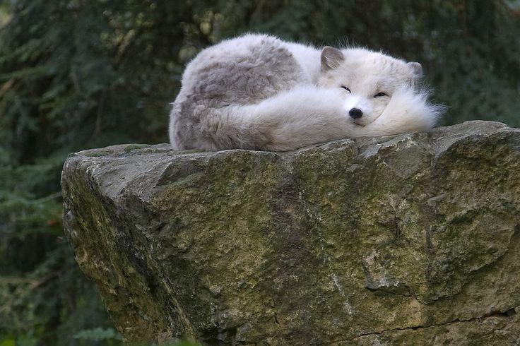 Песец (фото): Белая лисица, забравшаяся за полярный круг Смотри больше http://kot-pes.com/pesec-foto/