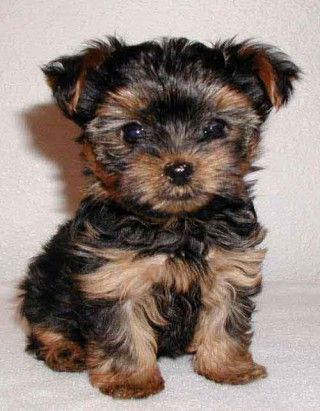 Dogs That Don't Shed | Small Dog Breeds That Don T Shed | Dog Breeds Picture