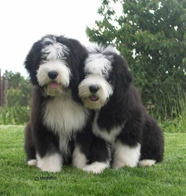 Dogbreedcatalog Bearded Collie Puppies In 2020 Puppies Bearded Collie Puppies Dogs And Puppies