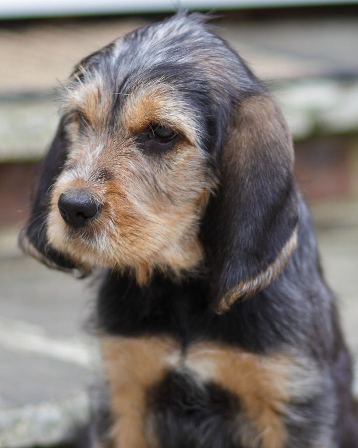 Otterhound Puppy. Best dogs ever. Rare breed only 800 + in the world.