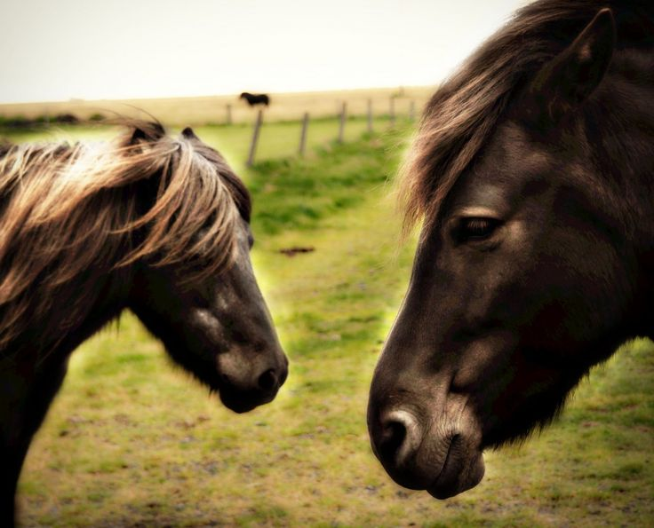 The Icelandic Horse >>>Have you been to Iceland to see these unique horses?: Beautiful Horses, Icelandic Horse, Angel Cards, Unique Horses, Hors Lovers, Love Out, Hors Beautiful, Beautiful Creatures, Iceland Horses