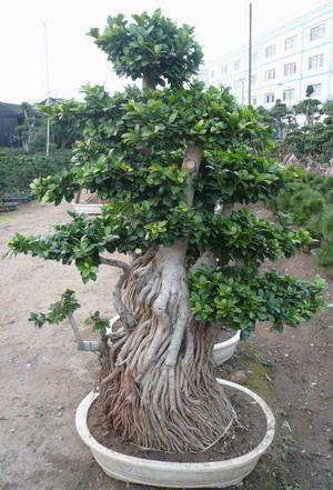 538 besten Bb Bilder auf Pinterest   Bonsai, Draht und Flora
