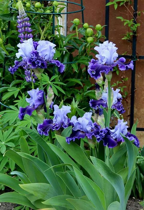 "Iris ""Global Crossing"" (Van Liere 2012)"