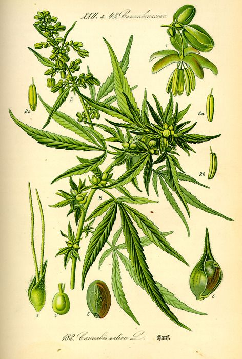 From 1850 to 1942, marijuana was listed in the United States Pharmacopoeia as a useful medicine for nausea, rheumatism, and labor pains and was easily obtained at the local general store or pharmacy.