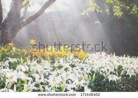 Witte Lelies Stockfoto's, afbeeldingen & plaatjes | Shutterstock