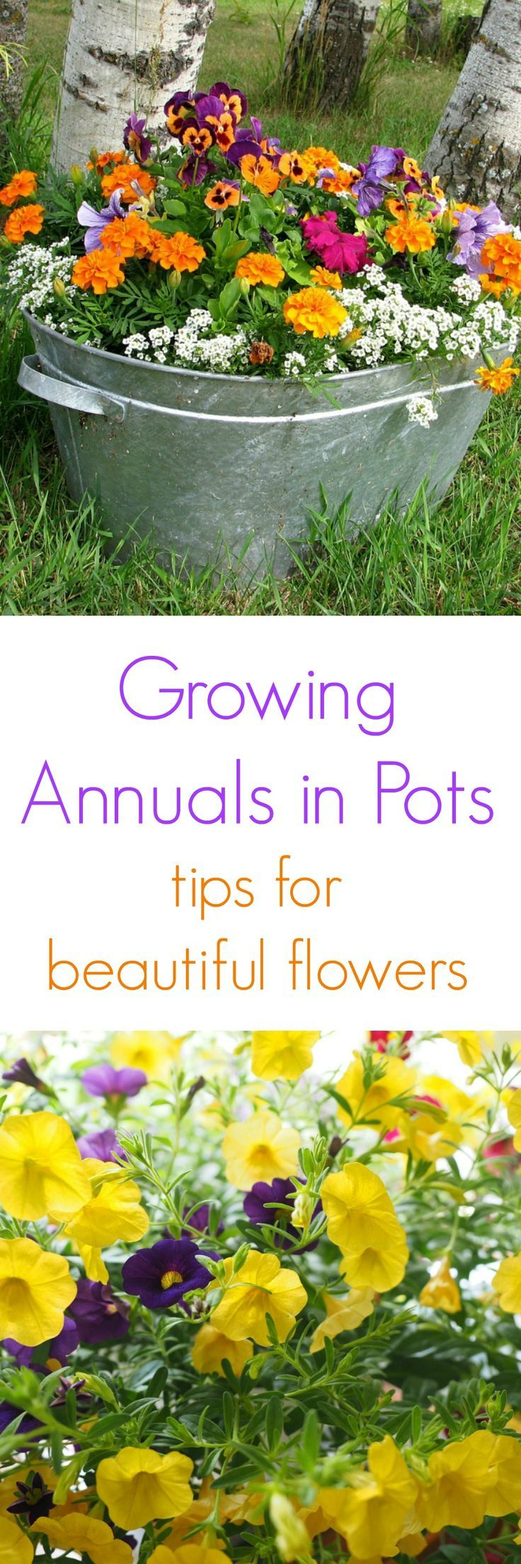 12 Best Annuals Images On Pinterest Container Garden Flower Boxes