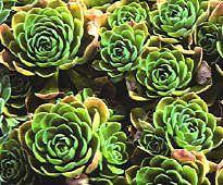crassulaceae/aeonium